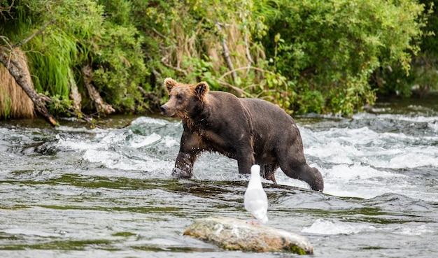 L'ours brun marche le long de la rivière