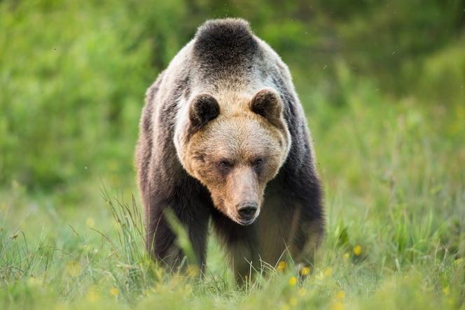 Ours brun massif marchant sur le pré dans la nature d'été