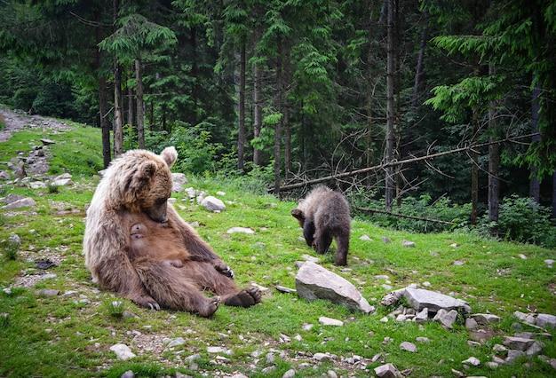 Ours brun mère et petit