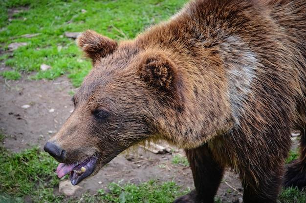 Ours brun montre la langue
