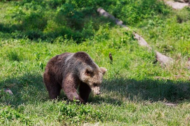 Ours brun avec paysage forestier