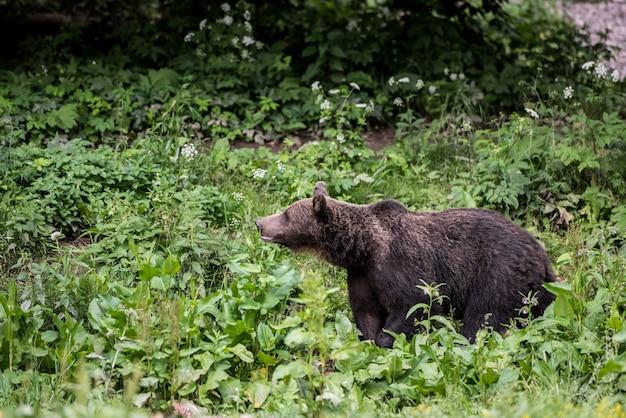 Ours brun qui marche dans les hautes herbes.