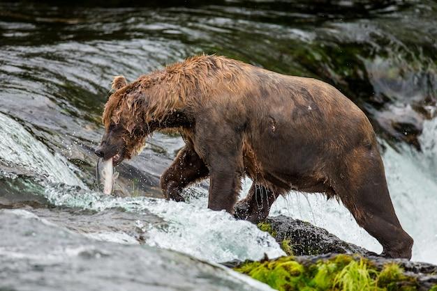 Ours brun avec un saumon dans sa bouche. etats-unis. alaska. parc national de katmai.