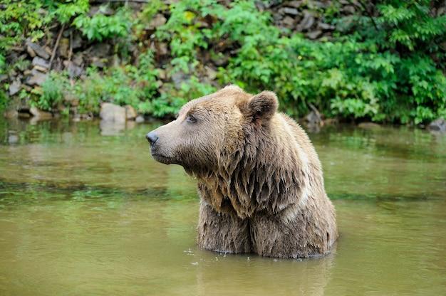 Ours brun sauvage (ursus arctos) dans la forêt. animal sauvage .