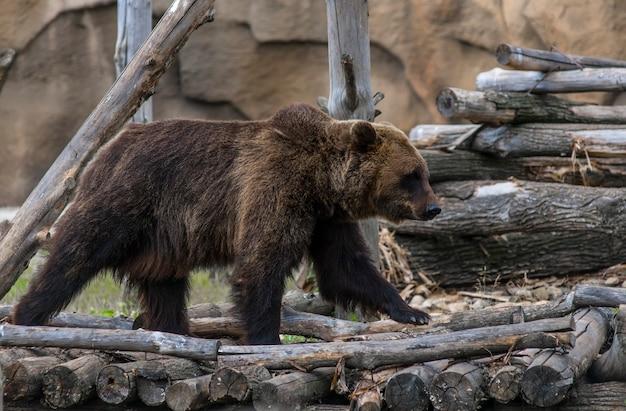 Un ours brun se promène sur sa propriété en été