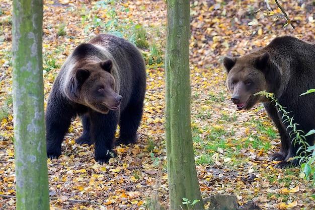 Ours bruns dans la forêt