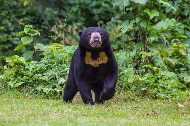 Ours du soleil de malaisie, ours de miel (ursus malayanus)