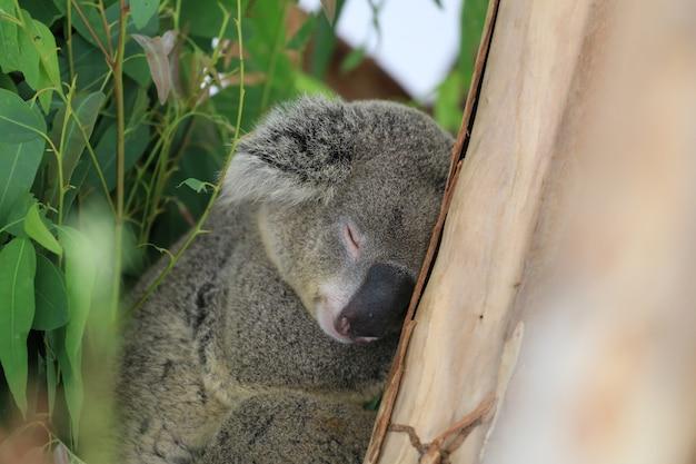 Ours koala dormir sur l'arbre.