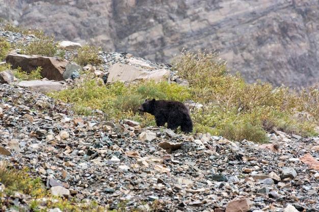 Ours noir d'amérique (ursus americanus)