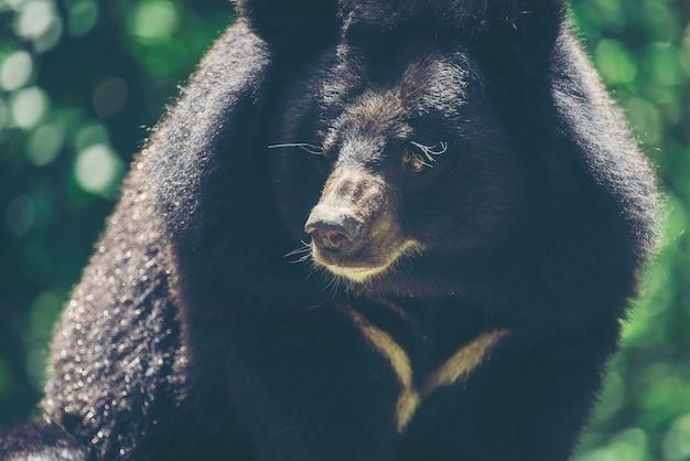 Ours noir asiatique, ursus thibetanus