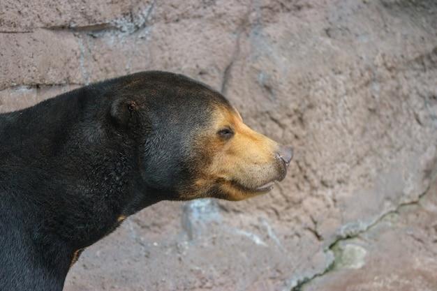 Un ours noir malaisien ou un ourson noir sur une falaise rocheuse.