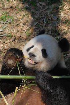 Ours panda géant allongé sur le dos et mangeant des pousses de bambou.