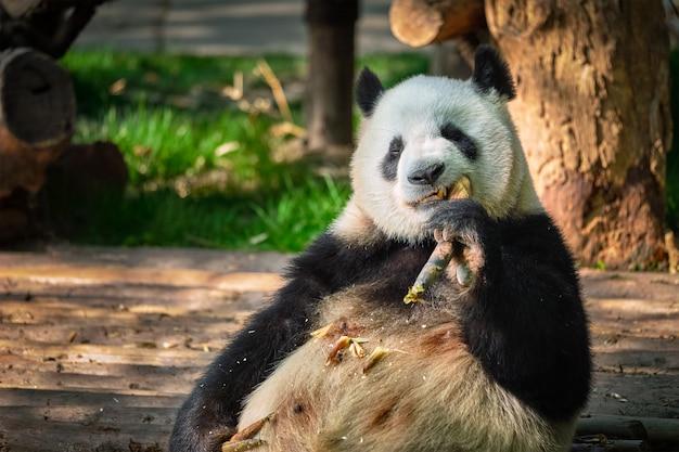 Ours panda géant en chine