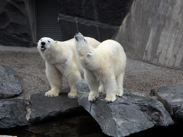 L'ours polaire ours zoo animaux animaux sauvages