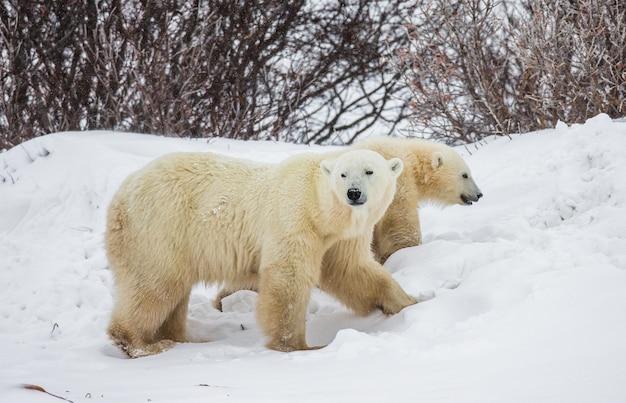 Ours polaire avec un ourson dans la toundra. canada.