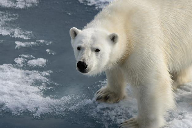 Ours polaire (ursus maritimus) sur la banquise au nord de l'île du spitzberg, svalbard, norvège, scandinavie, europe