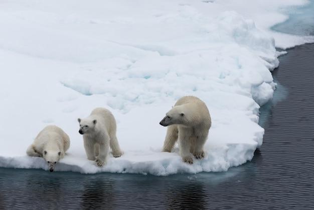 Ours polaire (ursus maritimus) mère et jumeaux sur la banquise