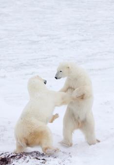 Ours polaires dans la lutte contre la neige