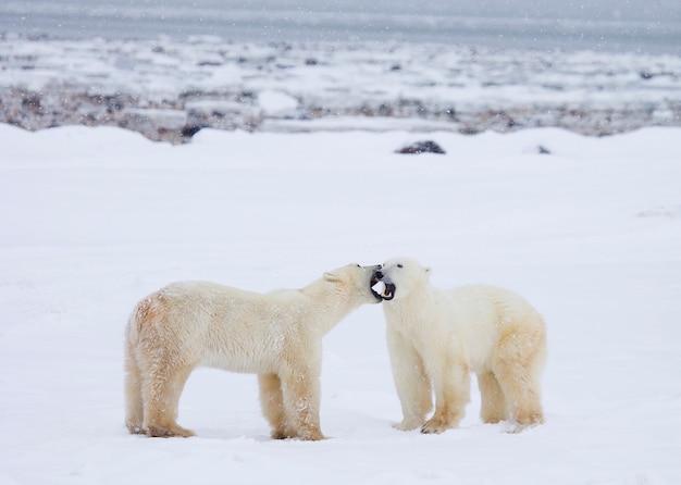 Ours polaires debout dans la neige en train de s'embrasser