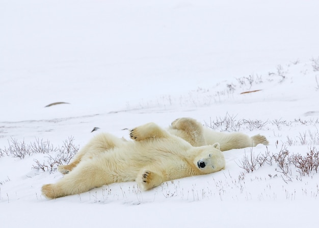 Ours polaires dormant dans un champ enneigé