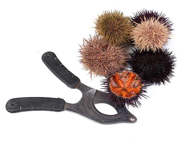 Oursins frais avec des ciseaux d'oursin isolés