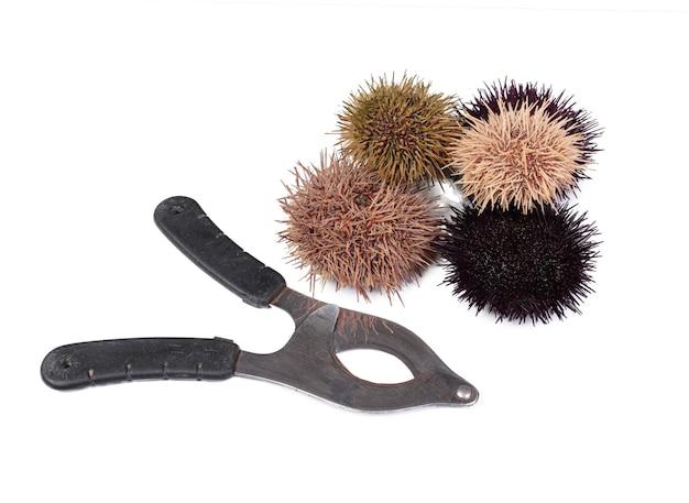 Les oursins frais avec des ciseaux d'oursin sur une surface blanche
