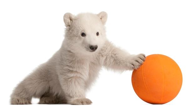 Ourson polaire, ursus maritimus, 3 mois, jouant avec ballon orange contre l'espace blanc