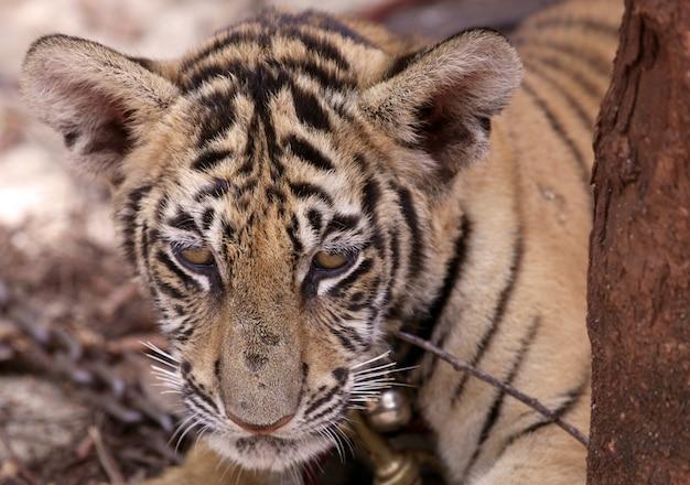 Ourson tigre