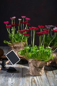 Outils de jardinage et fleurs de printemps marguerite prêtes à être plantées