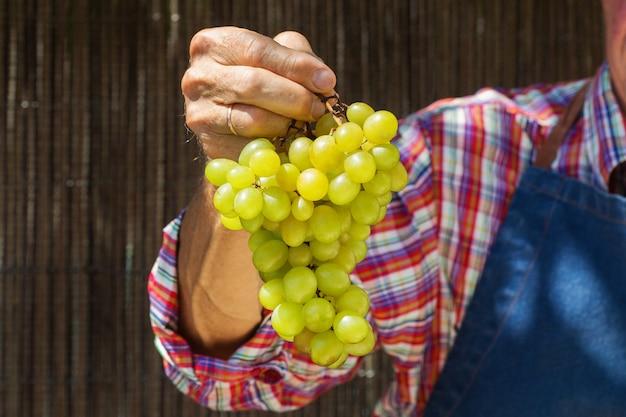 Ouvrier agriculteur senior tenant la récolte de raisins biologiques