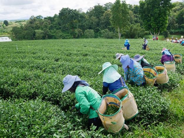 Des ouvriers choisissent le thé malgré les grèves en cours à chiang rai, en thaïlande