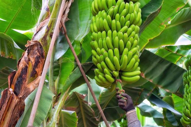 Ouvriers coupant une grappe de bananes dans une plantation de tenerife, îles canaries, espagne.