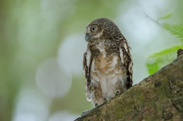 Owlet barré (glaucidium cuculoides) sur un arbre dans la nature