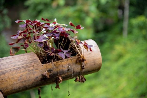 Oxalis triangularis dans un pot en bambou.