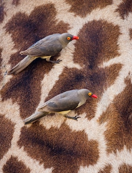 Oxpeckers à bec rouge est assis sur la peau de la girafe. afrique. kenya. tanzanie. parc national du serengeti.
