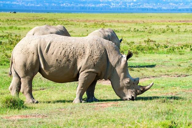 Pack de rhinocéros blancs