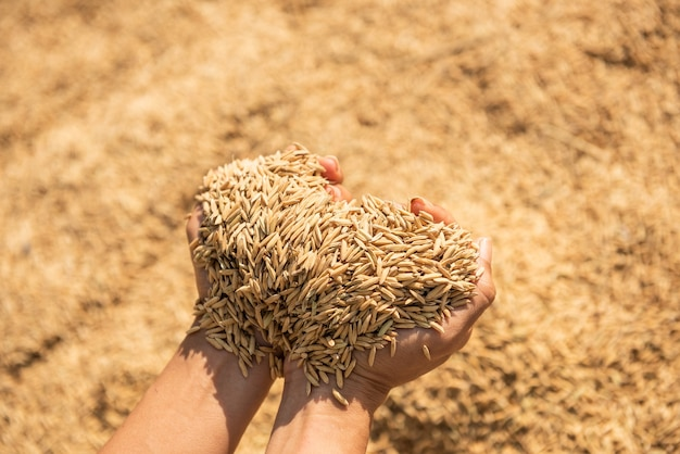 Paddy en récolte, le paddy jaune doré à la main, agriculteur transportant du paddy à portée de main, riz.