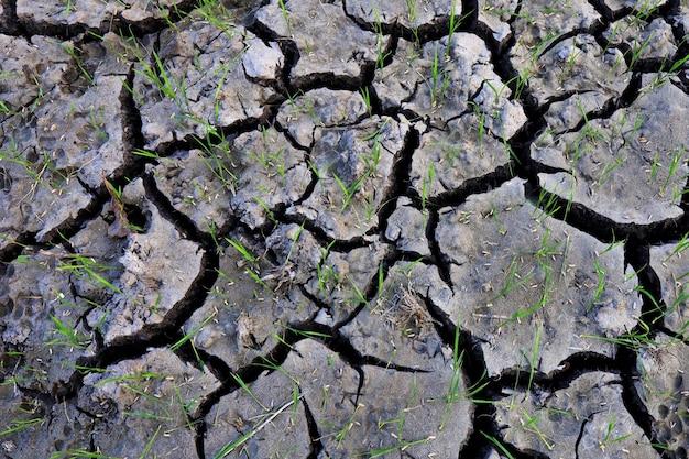 Paddy de sol grunge avec surface de riz d'arbre et matériel sur riz paddy, arbre de riz et feuille verte dans le champ