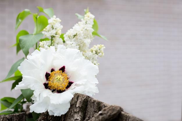 Paeonia suffruticosa pivoine blanche et lilas blanc bouquet de fleurs printanières. fond naturel avec espace de copie, place pour le texte à l'extérieur. floraison des fleurs printanières.