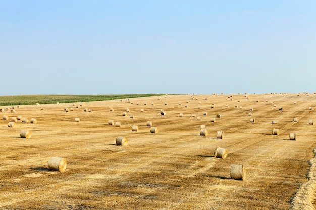 Paille fauchée restante après la récolte du blé