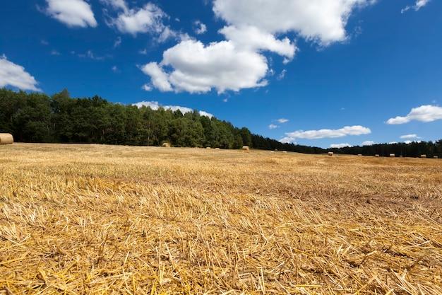 Paille issue de la culture du blé