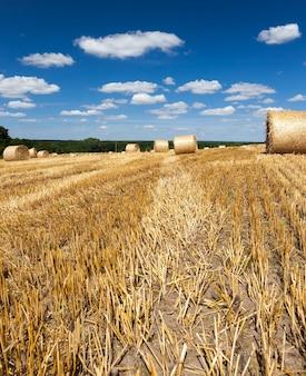 Paille orange dorée après la récolte du blé,