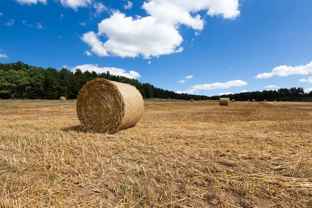Paille sur les terres agricoles après la récolte et réception d'une grande quantité de blé récolté