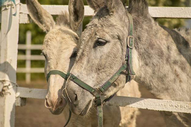 Paire d'ânes à l'intérieur de la clôture de la cage avec l'air triste pour leur condition de captivité.