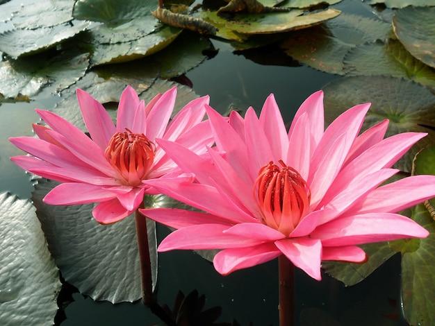 Paire de belles fleurs de lotus roses en fleurs dans l'étang
