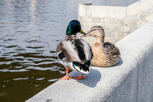 Une paire de canards assis sur une clôture en pierre au bord de la rivière