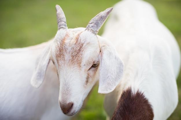 Paire de chèvres blanches mignonnes dans un champ herbeux