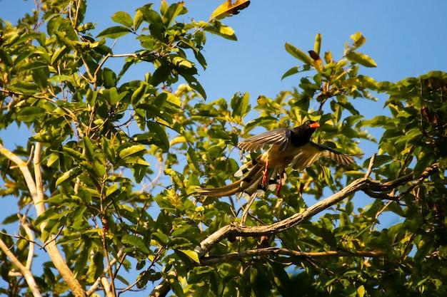 Paire de drongo à queue de raquette supérieure, vue de côté montrant la crête de la plume frisée