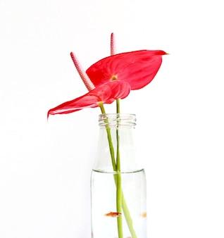 Paire de fleurs anthurium flamingo rouge foncé isolé sur fond blanc