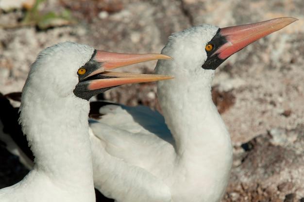 Paire de fous de nazca (sula granti), marches du prince philip, île genovesa, îles galapagos, équateur